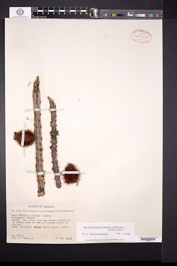 Image of Selenicereus spinulosus