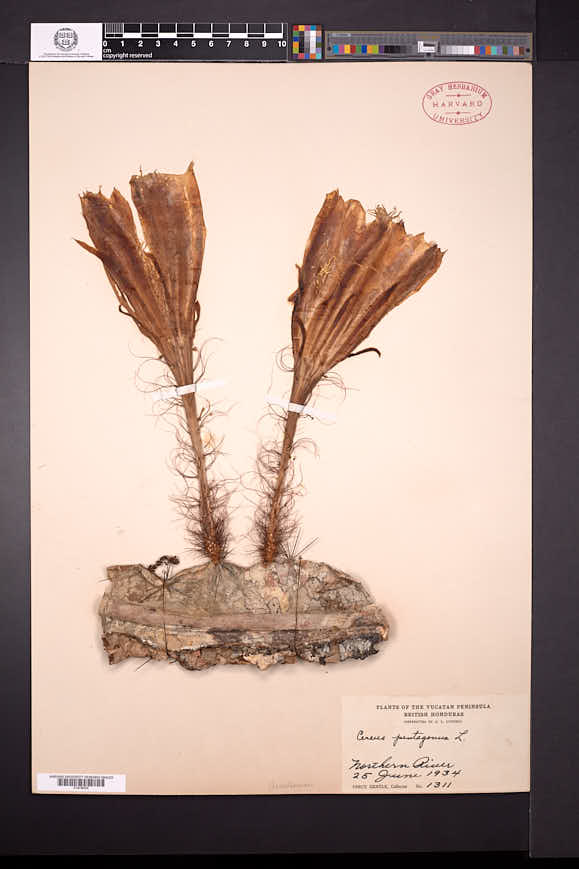 Image of Selenicereus testudo