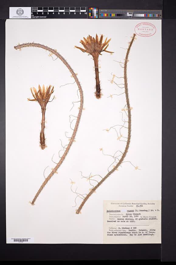 Image of Selenicereus vagans