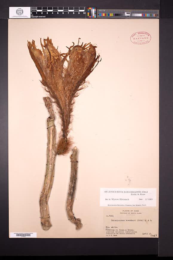 Image of Selenicereus boeckmannii
