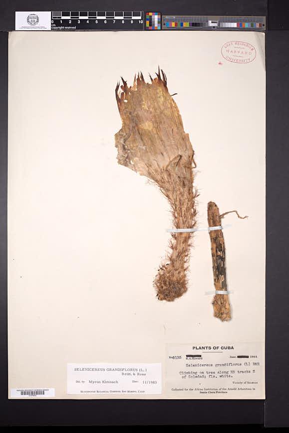 Selenicereus grandiflorus image