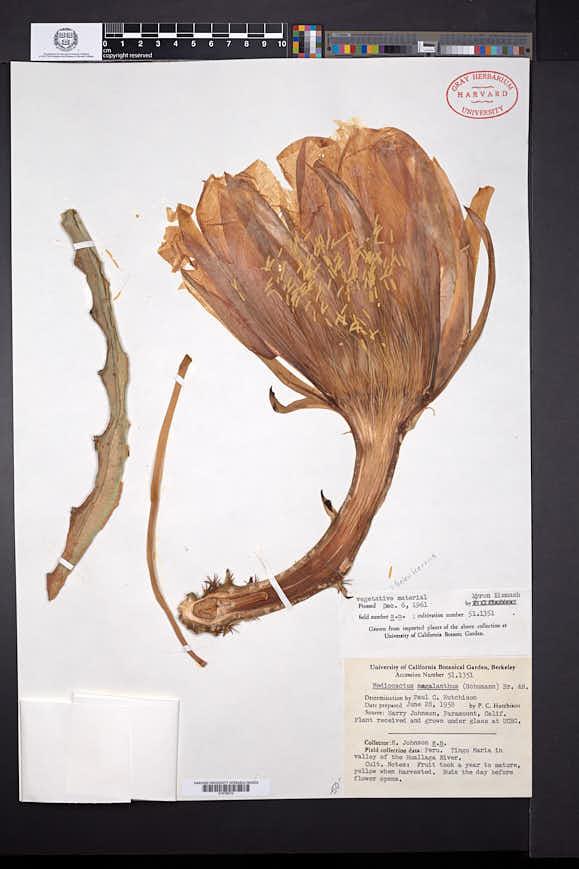 Image of Hylocereus megalanthus