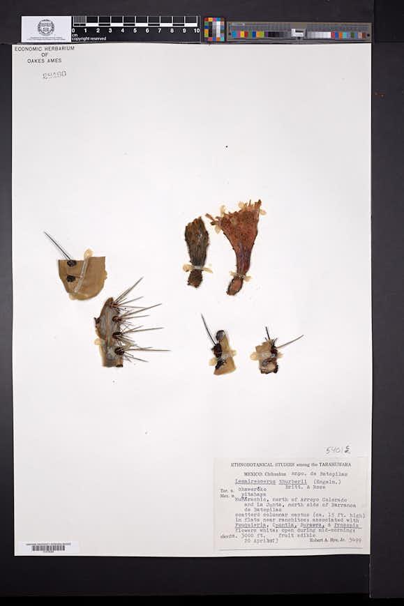Stenocereus thurberi image
