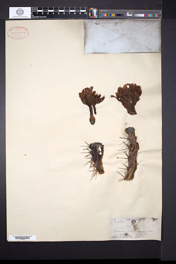 Image of Cereus eburneus