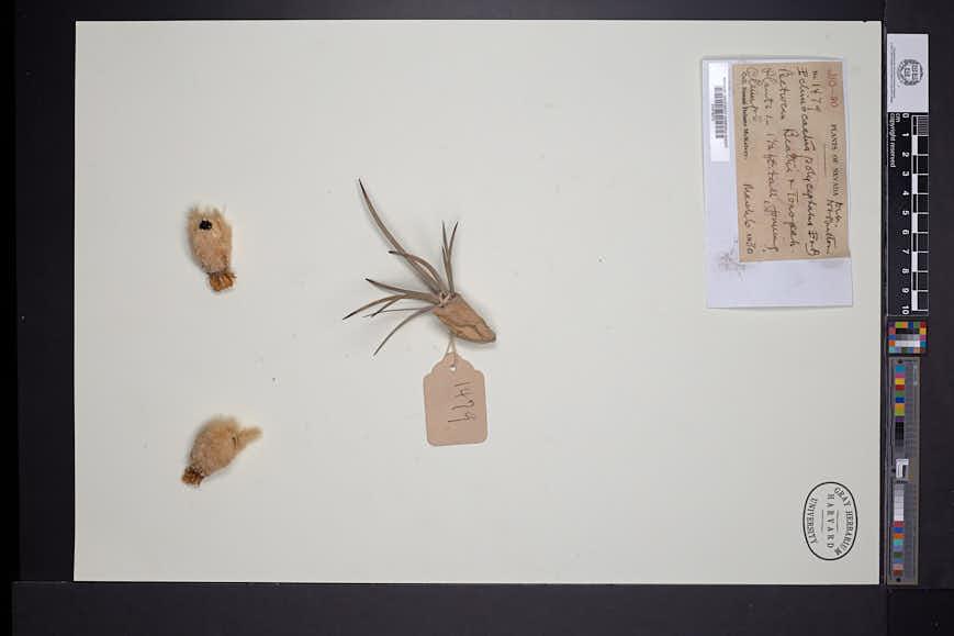 Echinocactus polycephalus image