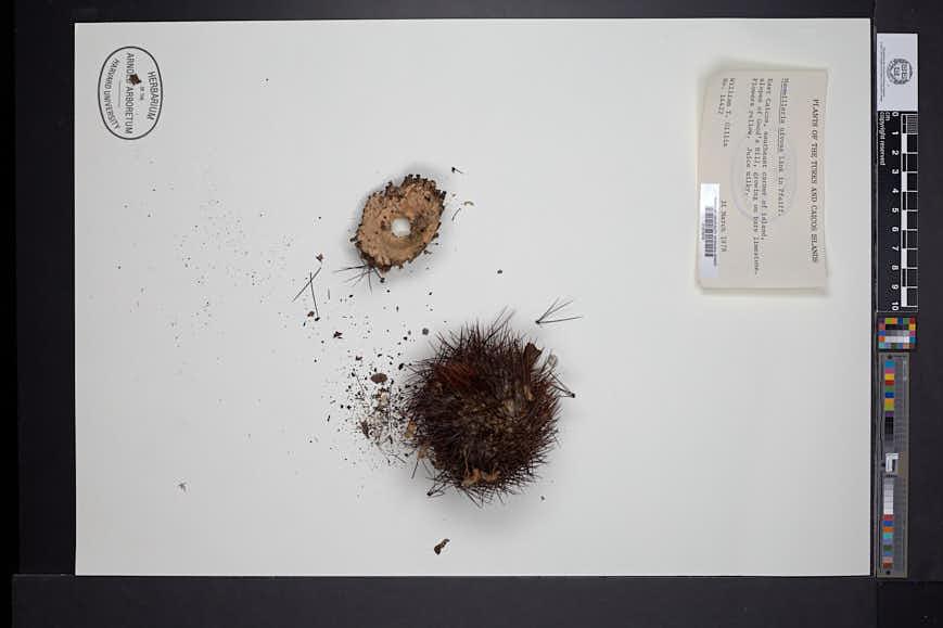 Image of Mammillaria nivosa