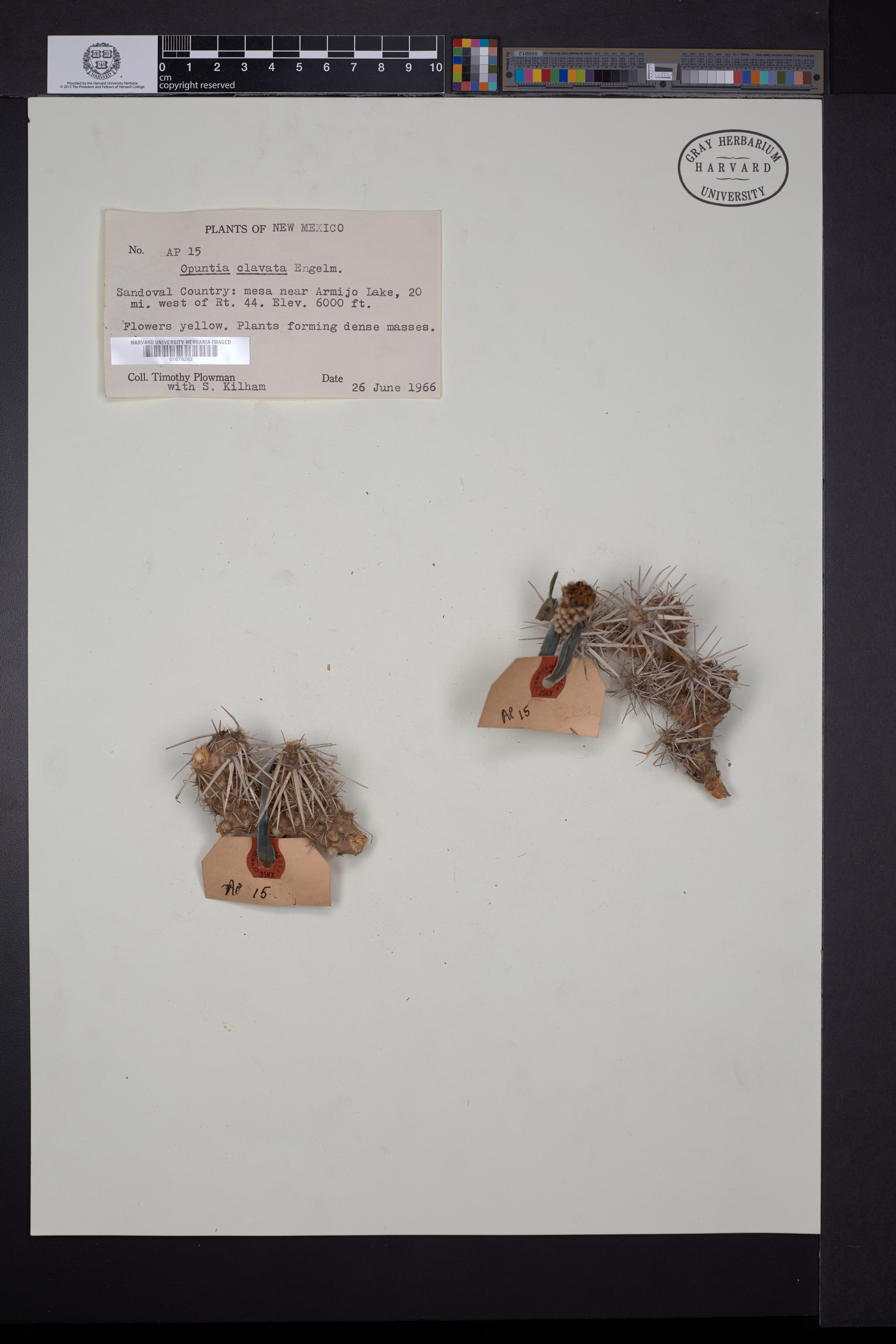 Opuntia clavata image