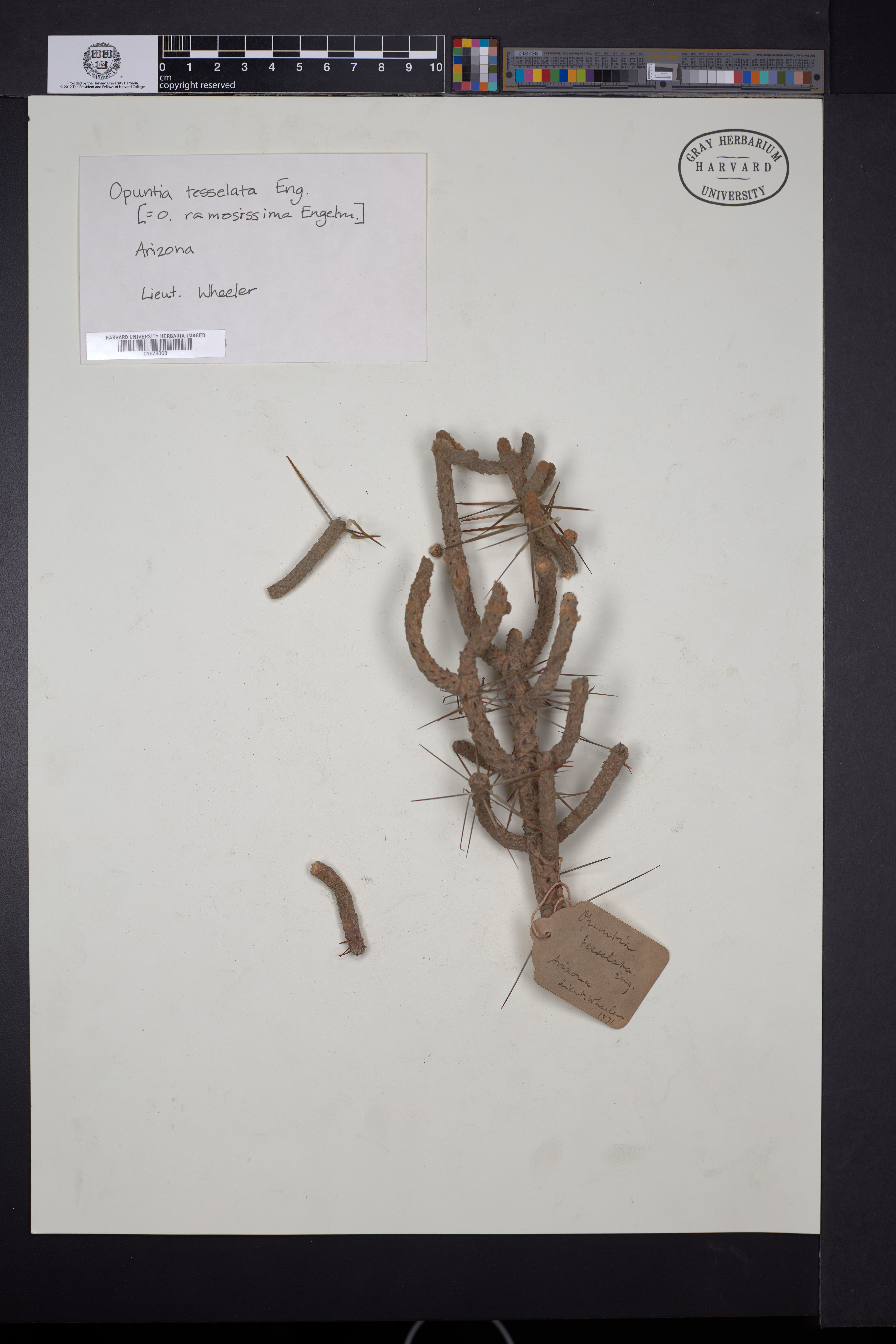 Cylindropuntia ramosissima image