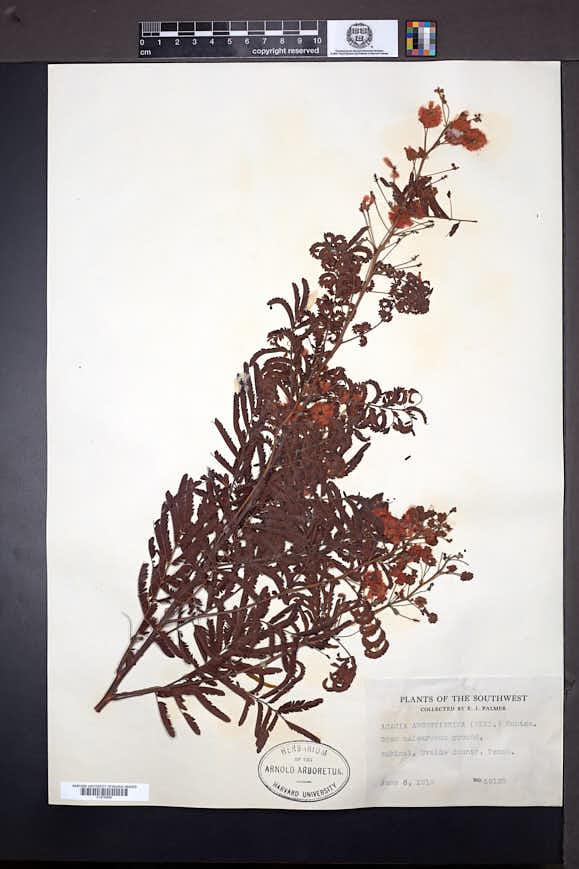 Acacia angustissima image