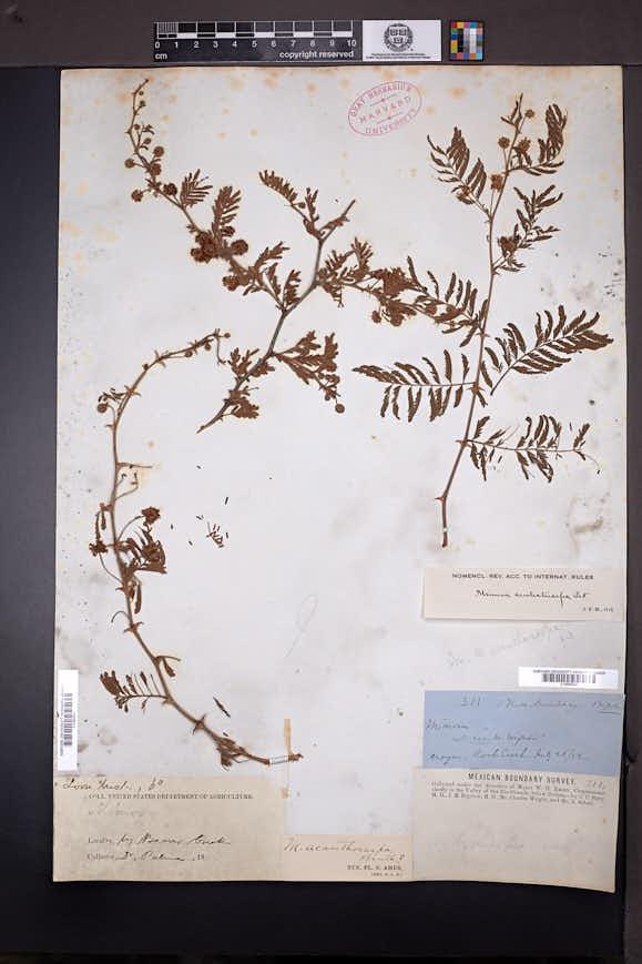 Image of Mimosa acanthocarpa