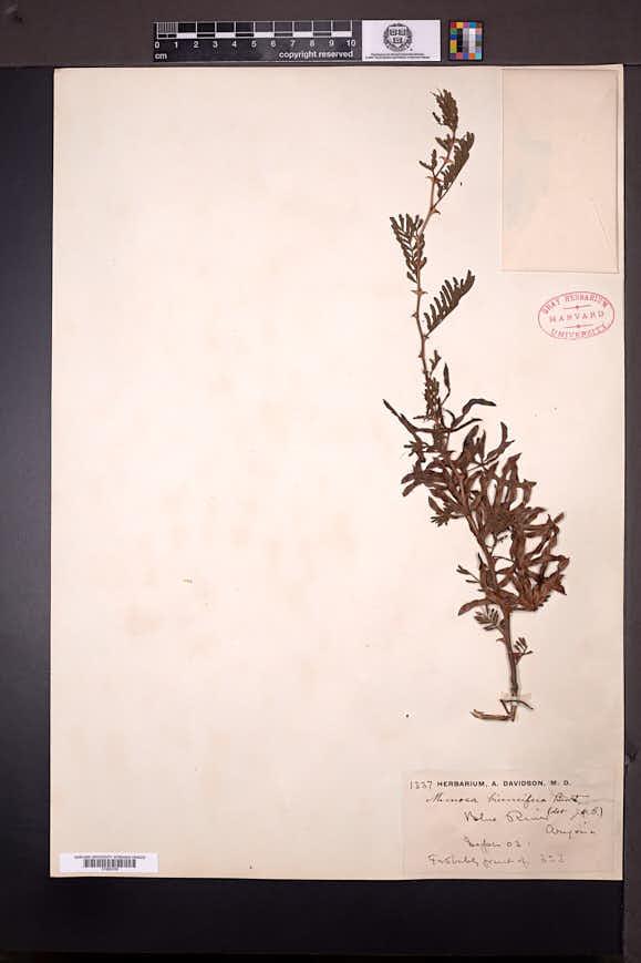 Mimosa aculeaticarpa var. biuncifera image