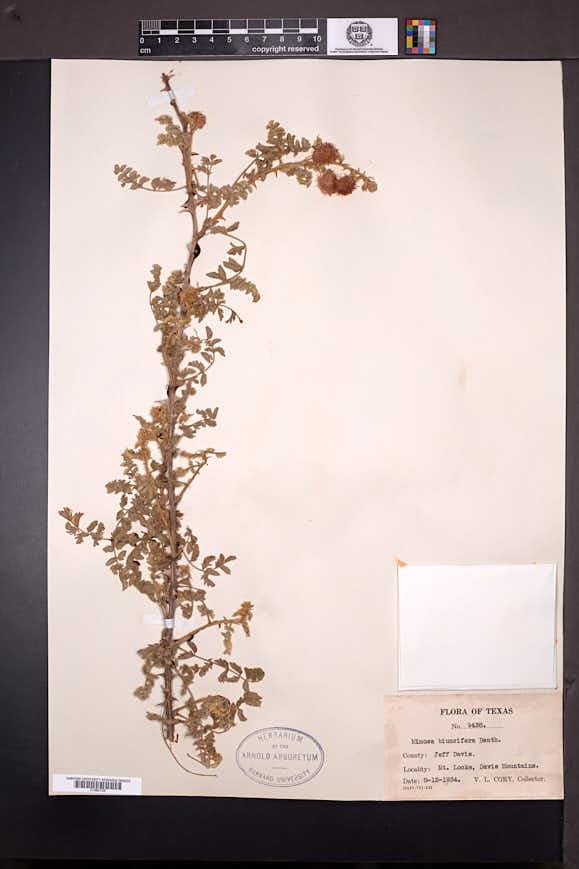 Mimosa aculeaticarpa image