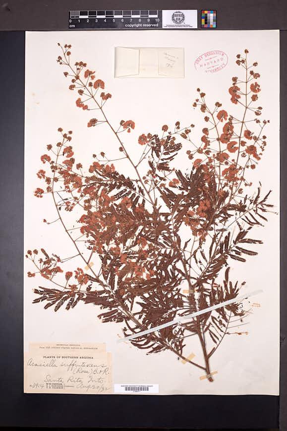 Acacia angustissima var. suffrutescens image