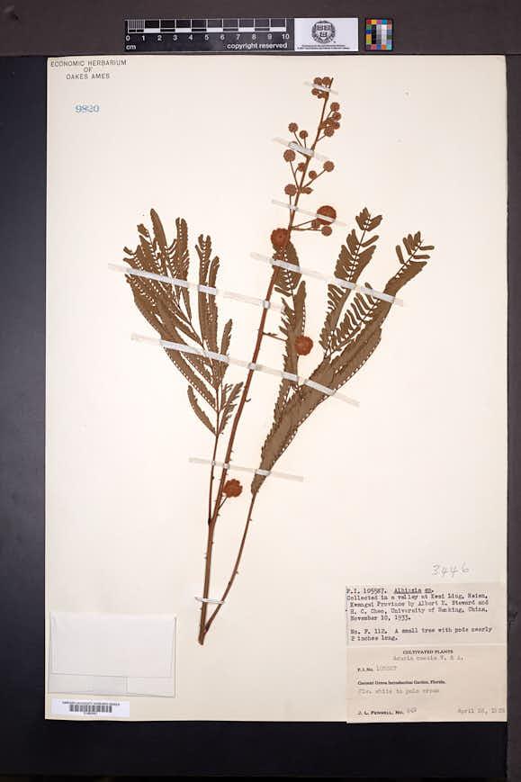 Image of Senegalia caesia