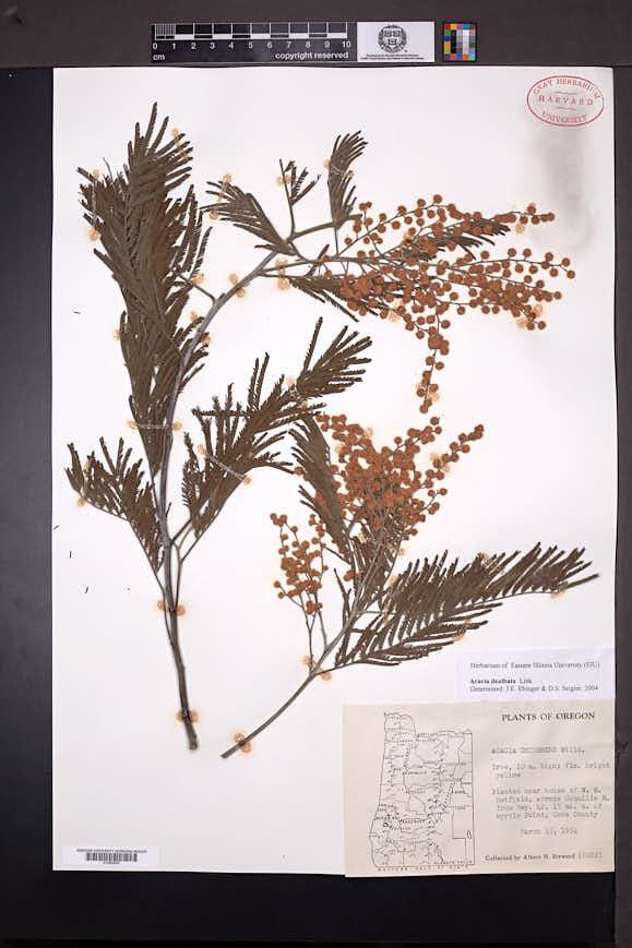 Acacia dealbata image