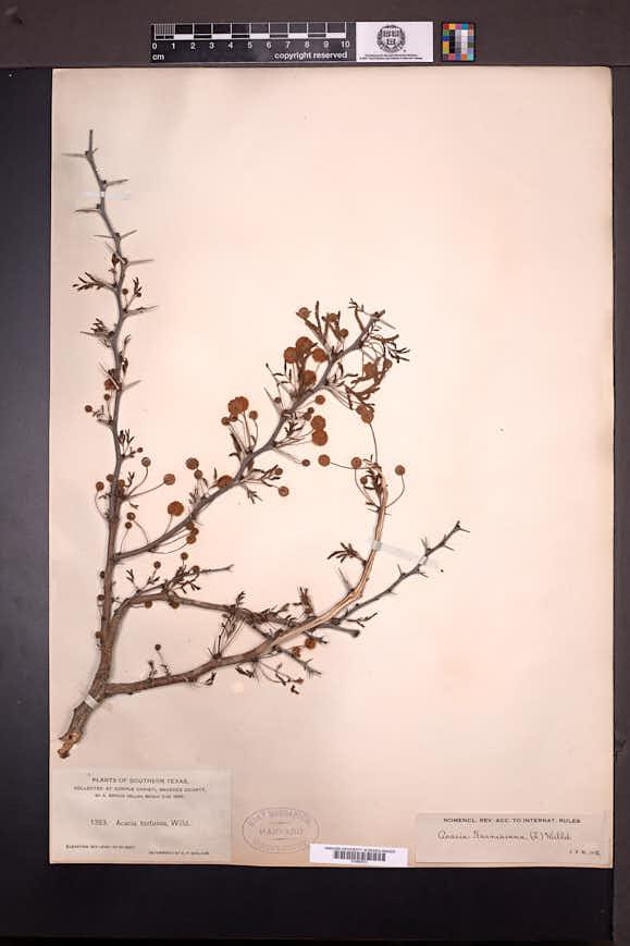 Vachellia farnesiana image