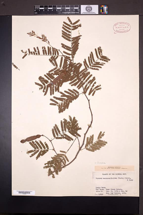 Image of Acacia macracanthoides