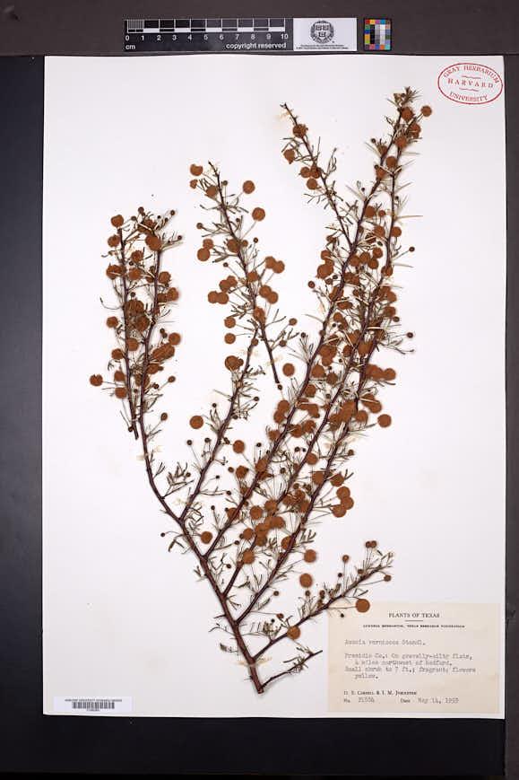 Acacia neovernicosa image