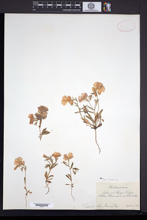 Phlox roemeriana image