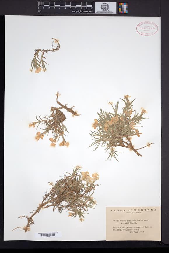 Phlox speciosa image