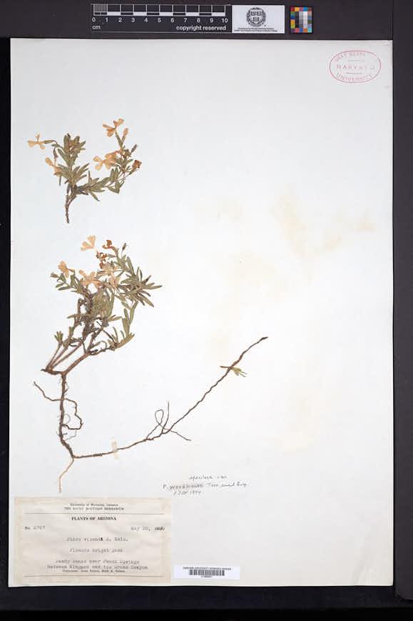 Phlox speciosa subsp. woodhousei image