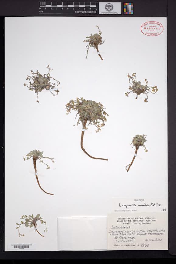Image of Physaria humilis