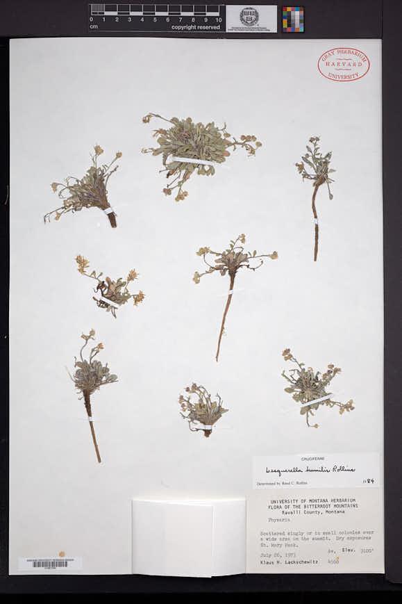 Physaria humilis image