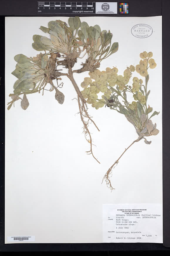 Image of Physaria integrifolia