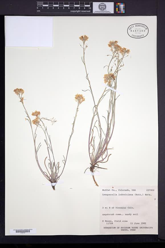 Physaria ludoviciana image