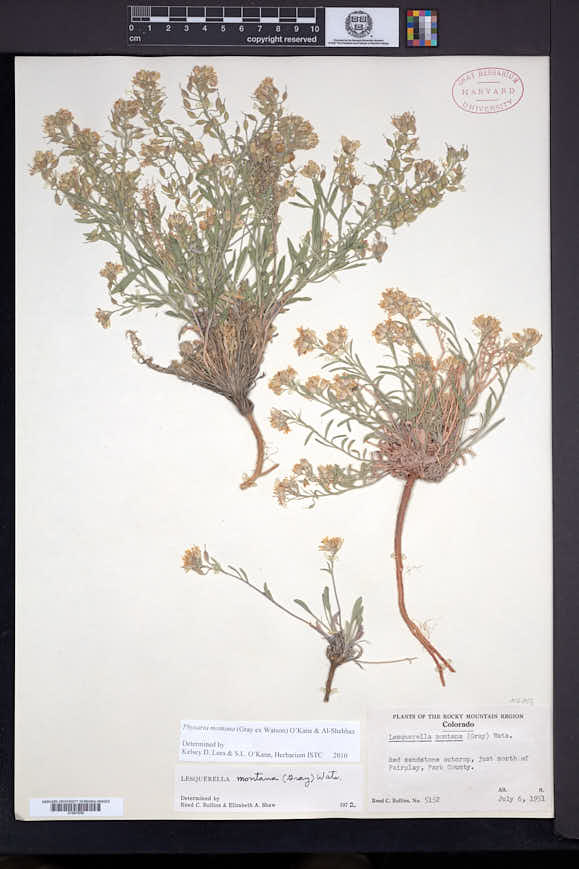 Physaria montana image