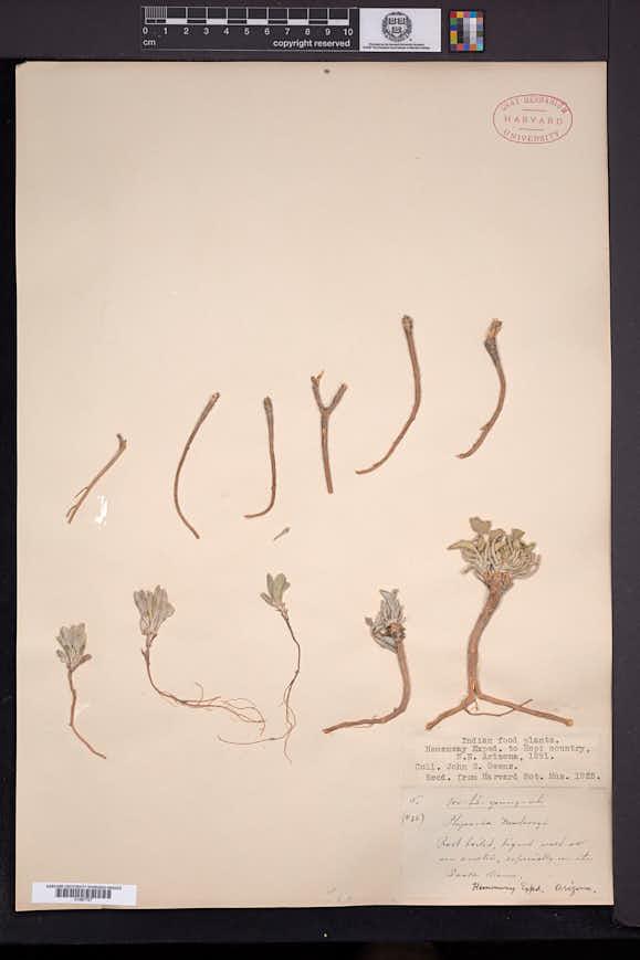 Physaria newberryi image