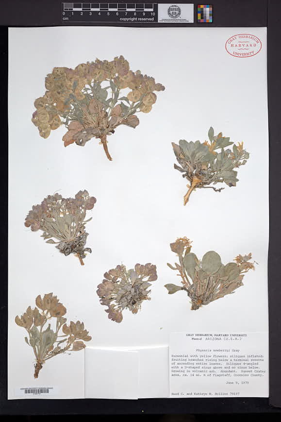 Physaria newberryi image