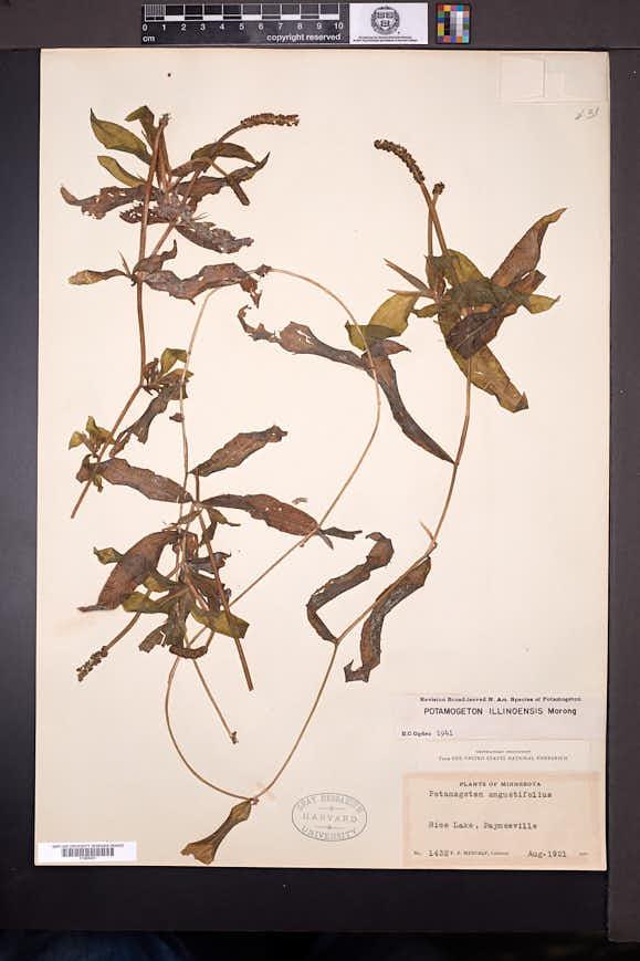 Potamogeton illinoensis image