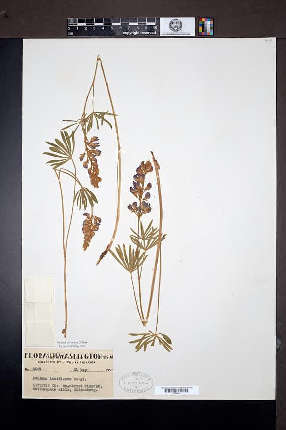 Lupinus arbustus image