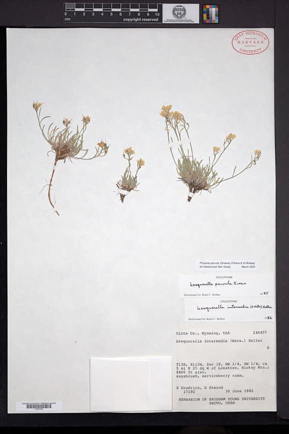 Physaria parvula image