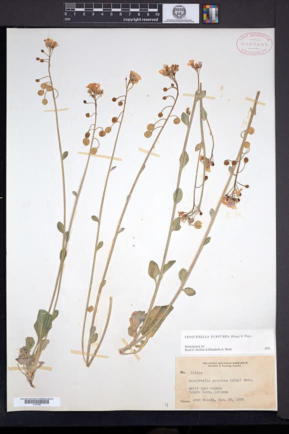 Physaria purpurea image
