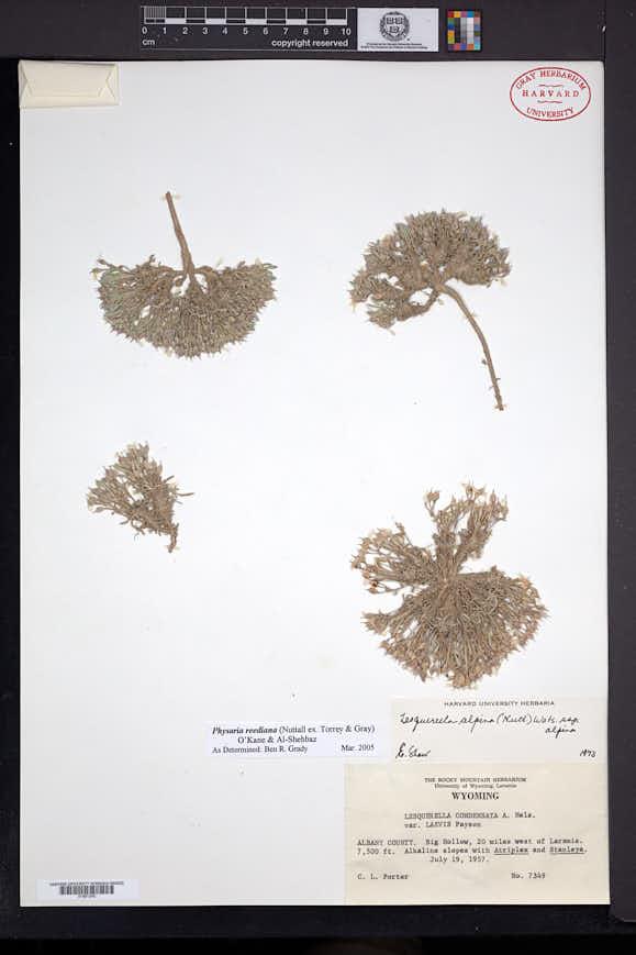 Physaria reediana image