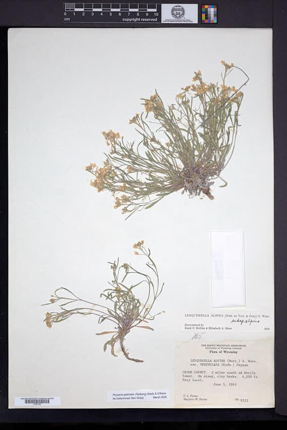 Physaria spatulata image