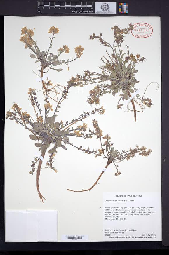 Physaria wardii image