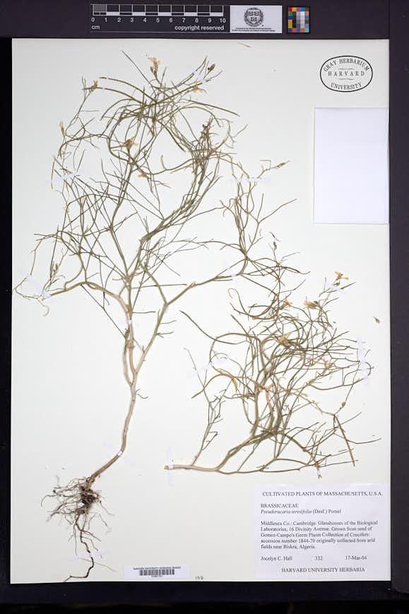 Image of Pseuderucaria teretifolia