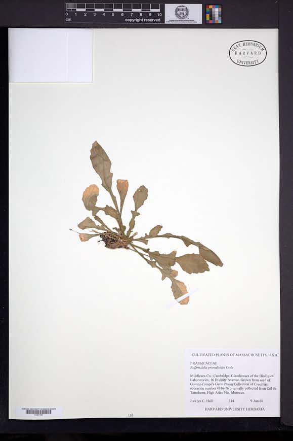 Image of Raffenaldia primuloides
