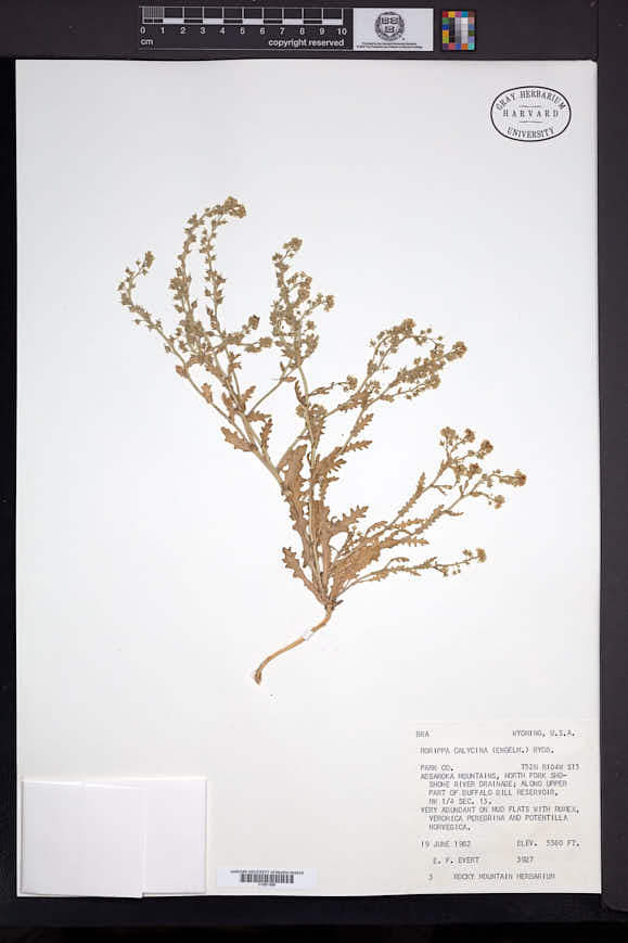 Rorippa calycina image