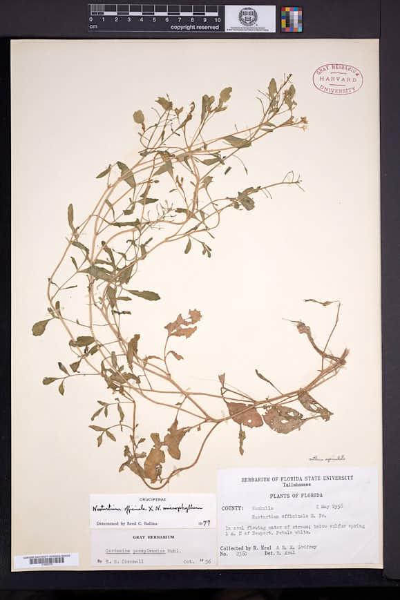 Image of Rorippa floridana