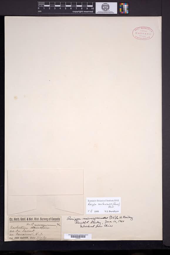 Image of Rorippa microsperma