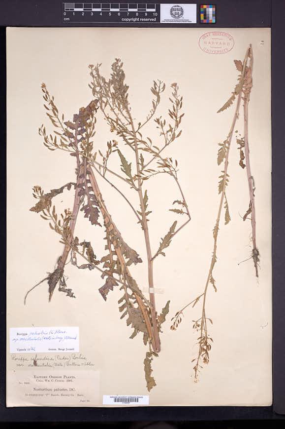Rorippa palustris subsp. occidentalis image