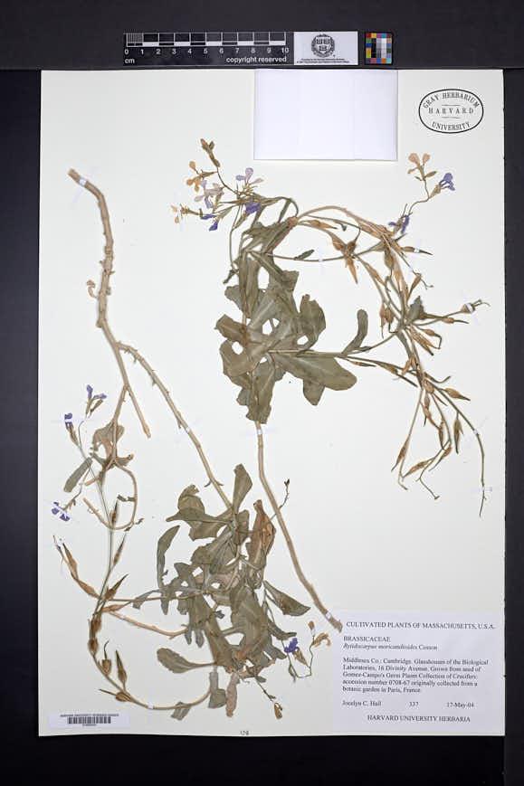 Image of Rytidocarpus moricandioides
