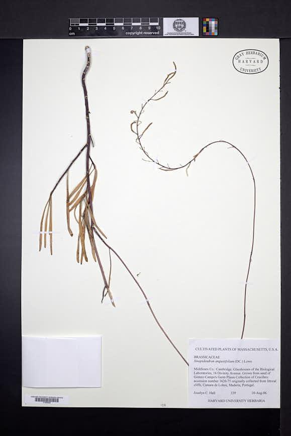 Image of Sinapidendron angustifolium