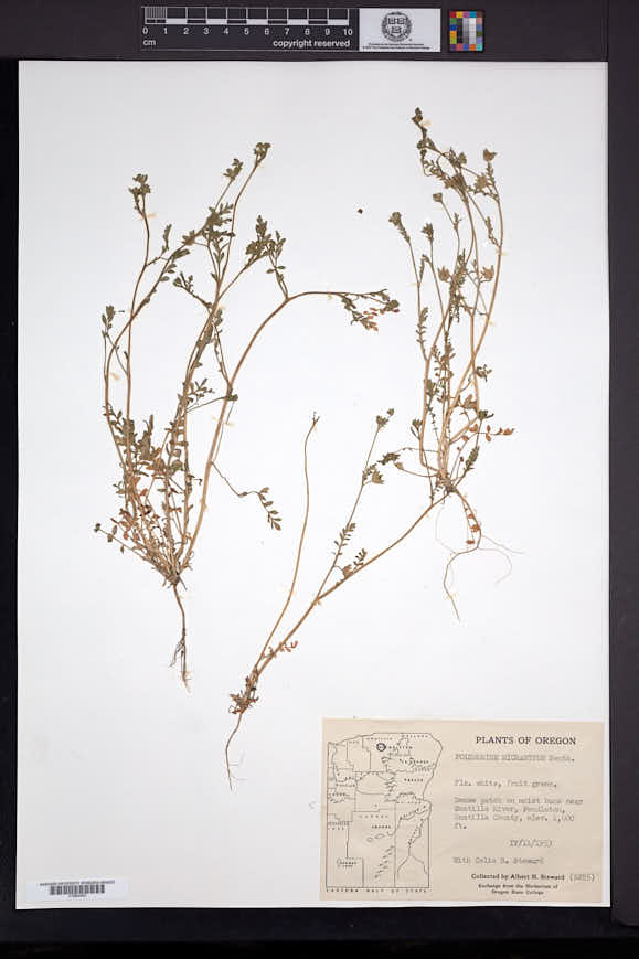 Polemonium micranthum image