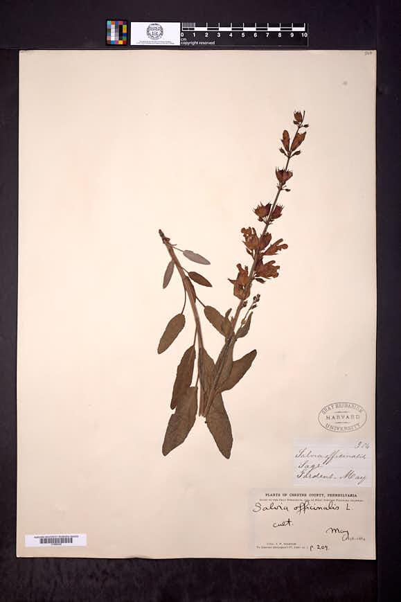Salvia officinalis image