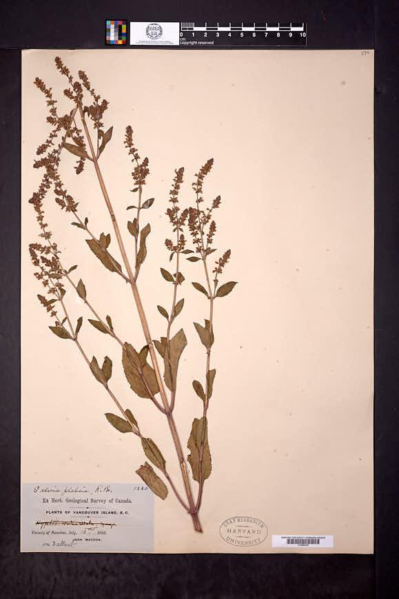 Image of Salvia plebeia